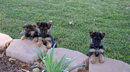 assertive-k9-training-philosophy-puppies-1