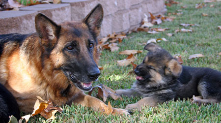 assertive-k9-training-philosophy-puppies-2