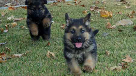assertive-k9-training-philosophy-puppies-3