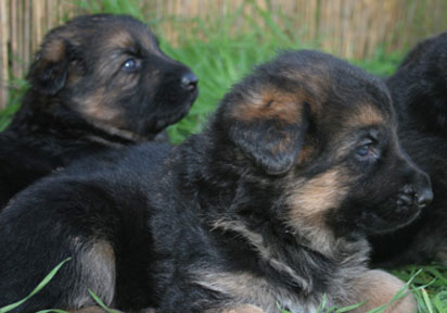 assertive-k9-training-puppies-down