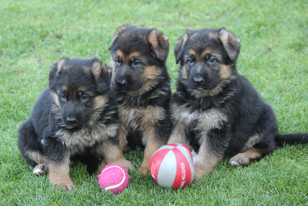assertive-k9-training-puppies-litter-3