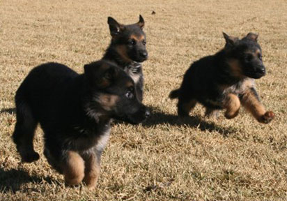 assertive-k9-training-puppies-play
