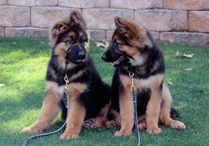 assertive-k9-training-puppies-sit