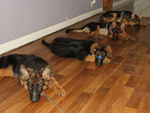 assertive-k9-training-trained-puppies-long-down